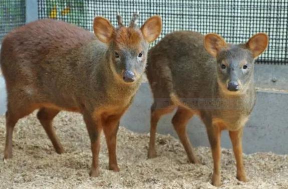 世界最小の鹿 プーズー シカ