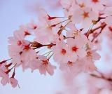 名古屋でお花見に行く! 2017  おおすすめ5選  開花予想も