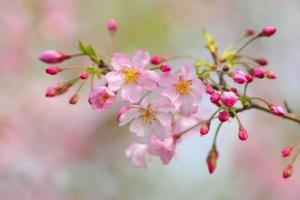 名古屋桜の開花2019