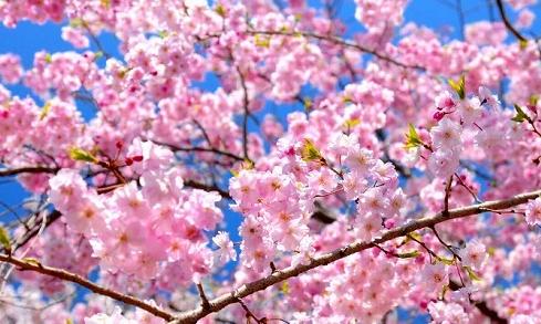 桜の開花予報 2017 愛知・名古屋