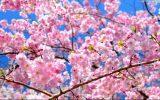 桜の開花予報 2017年はいつ頃? 愛知県・名古屋の場合