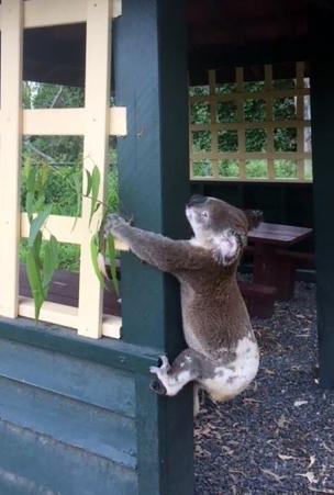【衝撃映像】オーストラリアで張り付けコアラの死骸が発見のなぜ?!虐待者の心理とは?